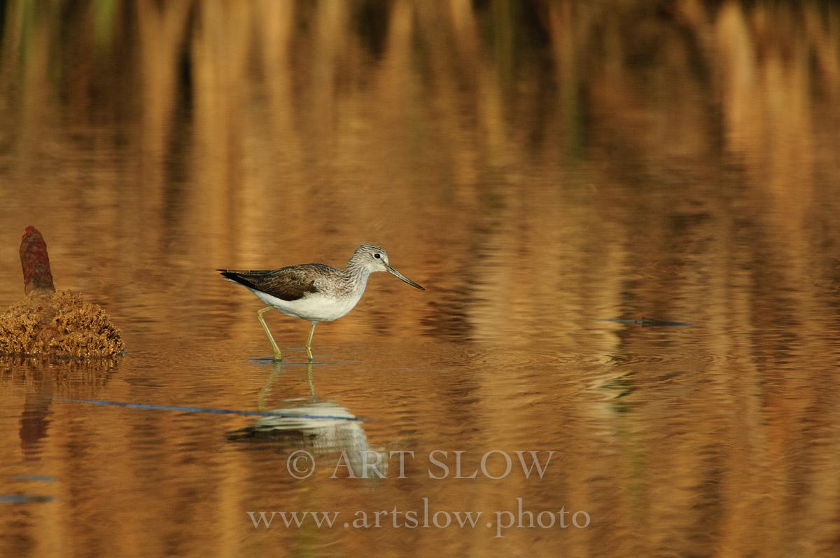 Espejo Dorado - Bahía del Fangar, Reserva Natural del Delta del Ebro, Catalunya. Edición: 10/10 + 2P/A - Fauna - Fauna