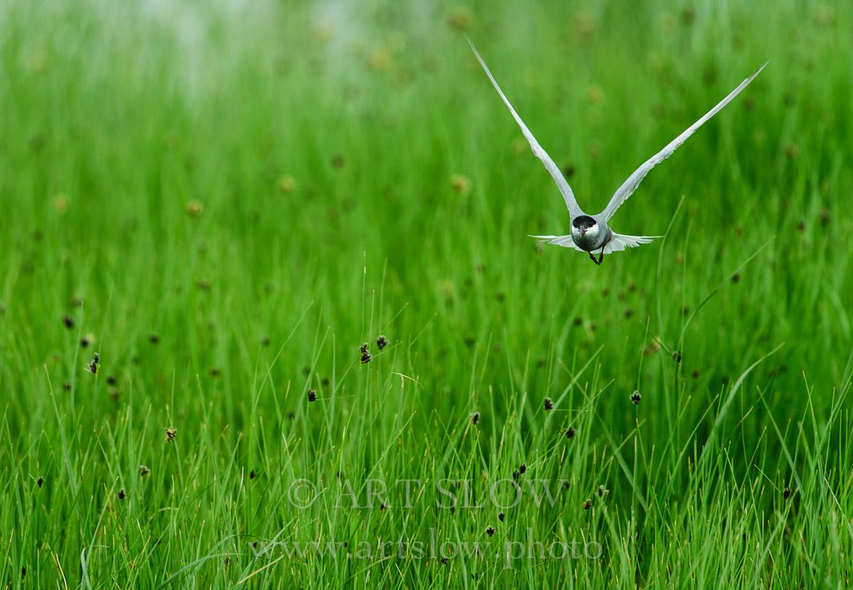 Primavera - Reserva Natural Filipinas-Remolar, Delta del Llobregat, El Prat de Llobregat, Barcelona, Catalunya. Edición: 10/10 + 2P/A - Fauna - Fauna