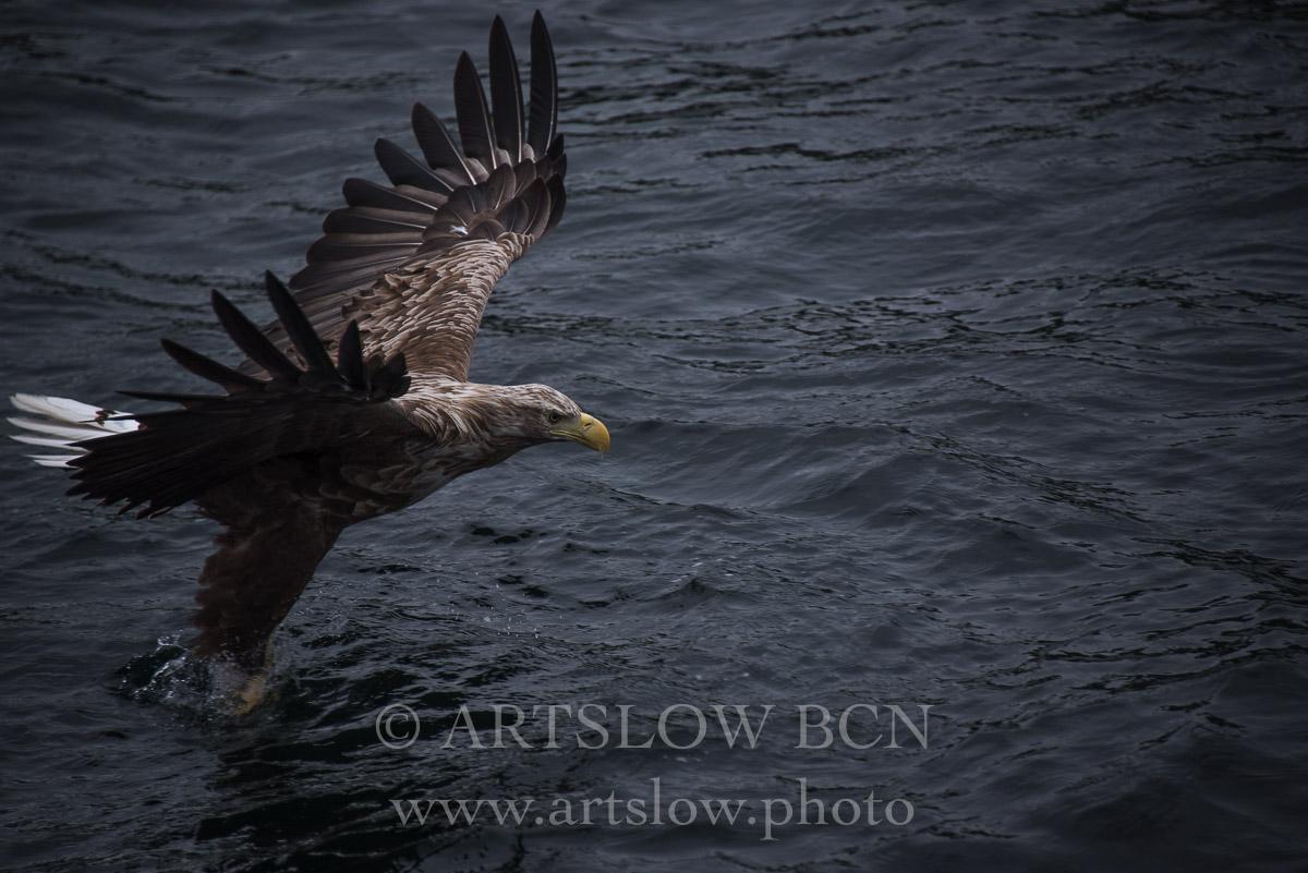 La Reina del Fiordo- Islas Lofoten - Noruega. Edición: 10/10 + 2P/A - Fauna - Fauna