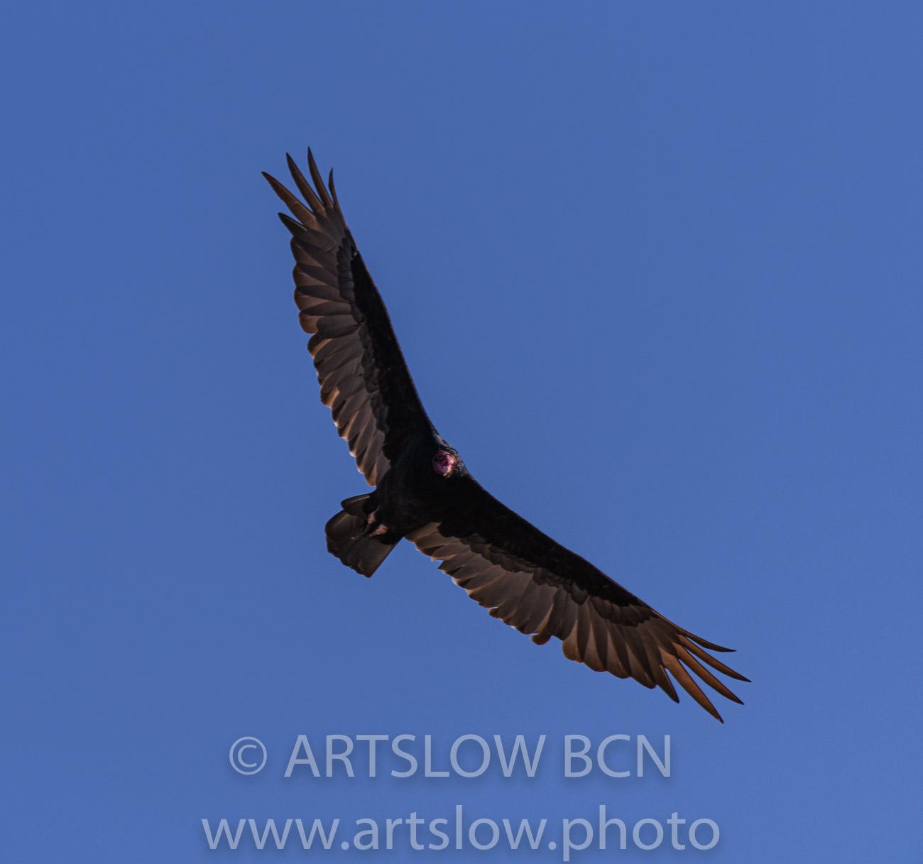 2002-8823-Gallinazo, Turkey Vulture, (Cathartes aura),  - Paisajes Tropicales - ARTSLOW BCN GALLERY SHOP, www.artslow.photo