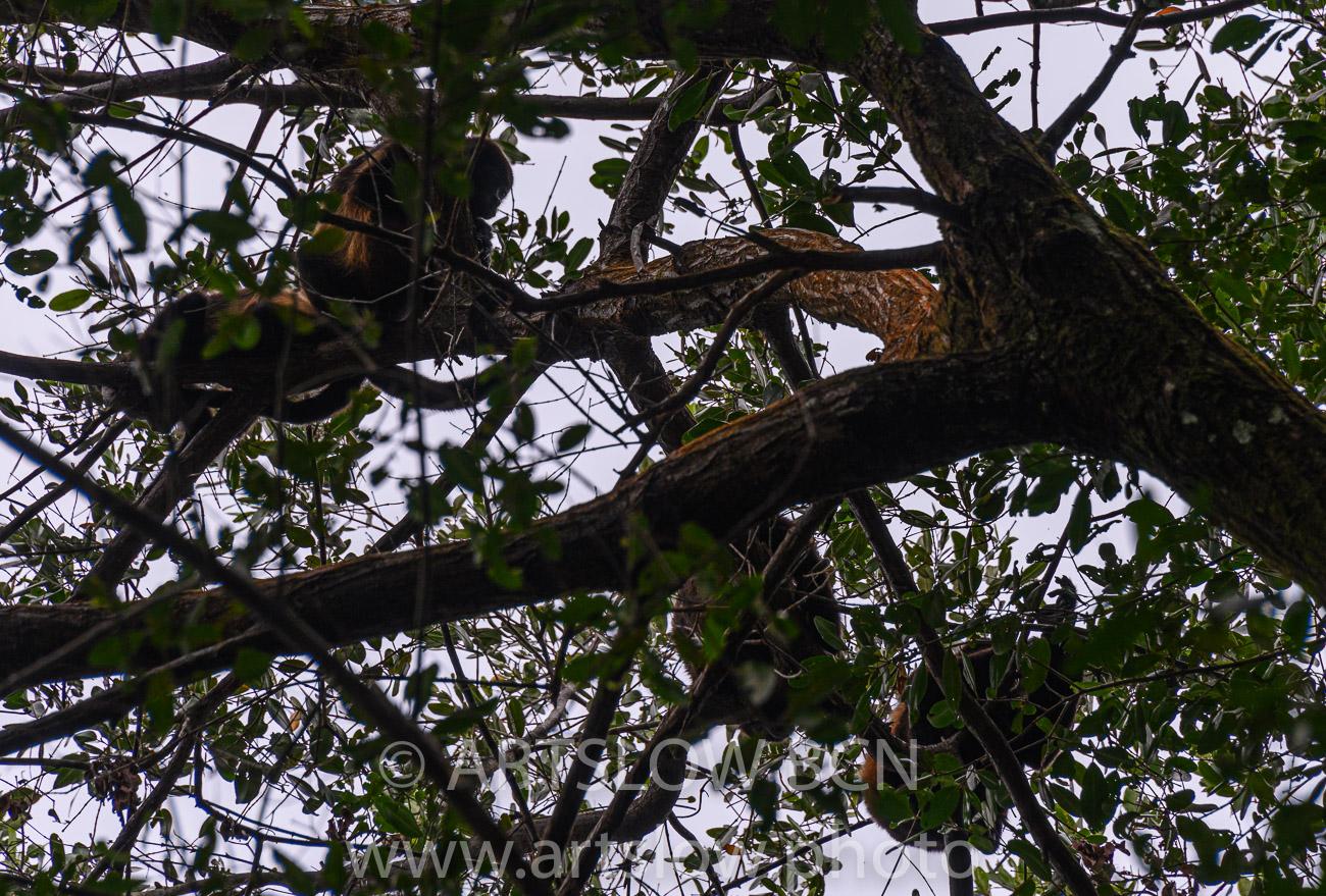 2002-9074 - Familia de monos aulladores, (Alouatta palliata), - Bocas del Toro,Isla de Colón, Panamá - Paisajes Tropicales - ARTSLOW BCN GALLERY SHOP, www.artslow.photo