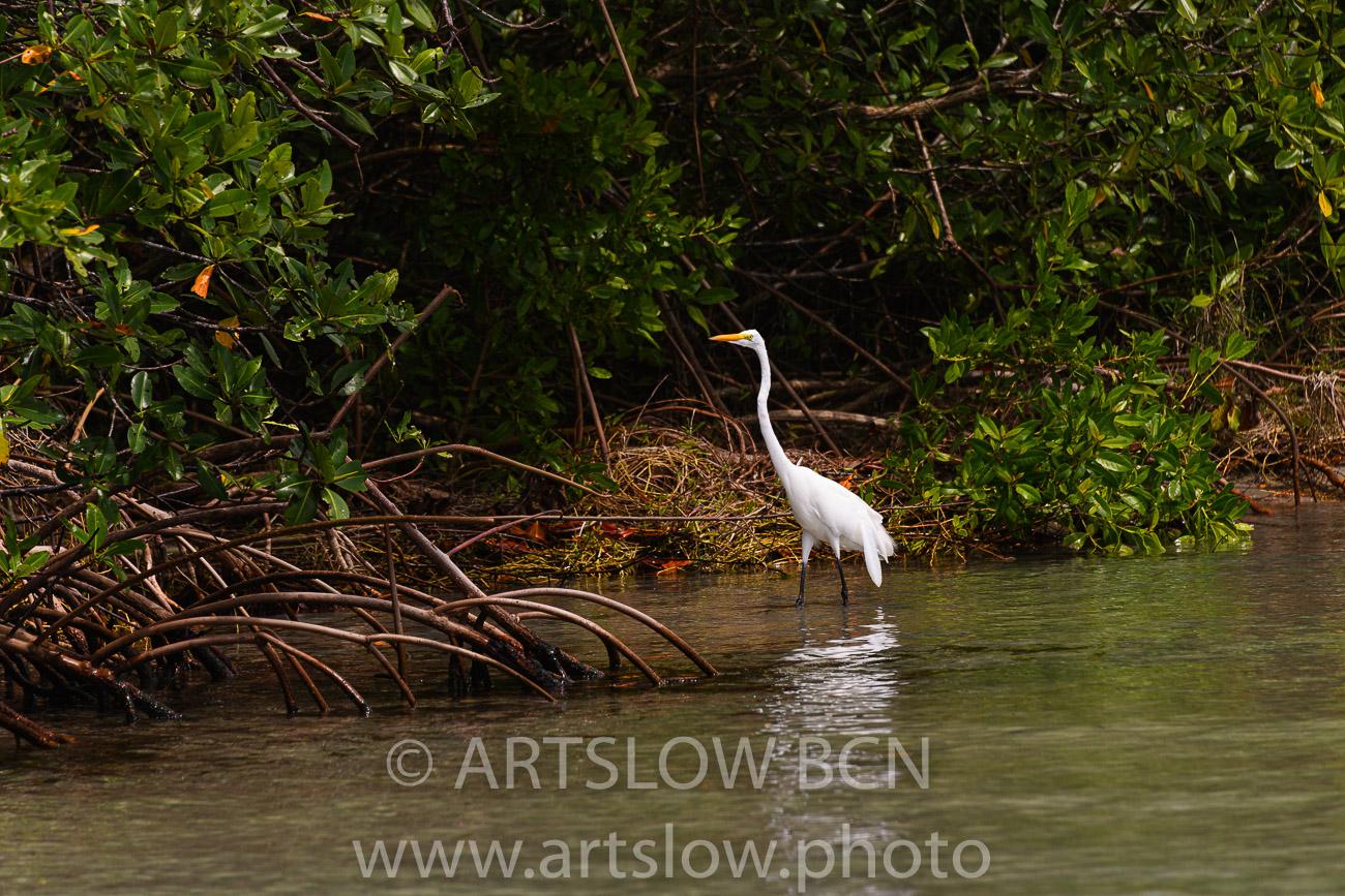 2002-9231, Garza Grande Americana, (Great Egret), Bocas del Toro,Isla de Colón, Panamá - Paisajes Tropicales - ARTSLOW BCN GALLERY SHOP, www.artslow.photo