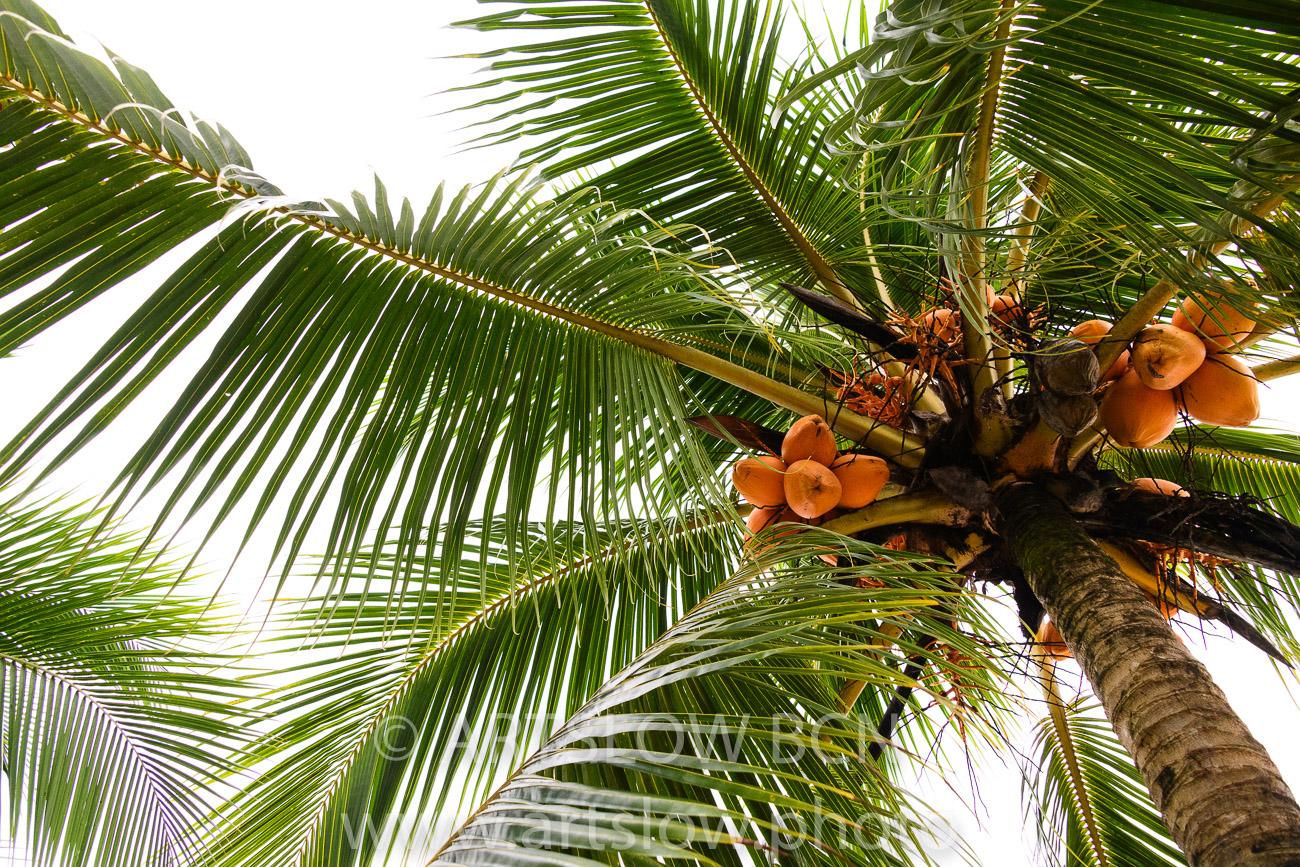 2002-9578-Cocoteros3, Bocas del Toro,Isla de Colón, Panamá - Paisajes Tropicales - ARTSLOW BCN GALLERY SHOP, www.artslow.photo