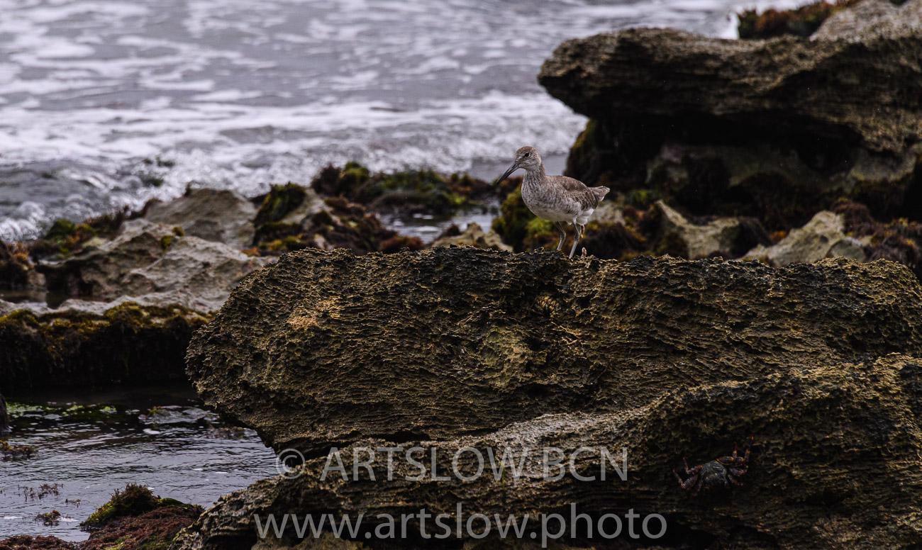 2002-9638- Bar, tailed Godwit, (Limosa lapponica)juvenil - Paisajes Tropicales - ARTSLOW BCN GALLERY SHOP, www.artslow.photo