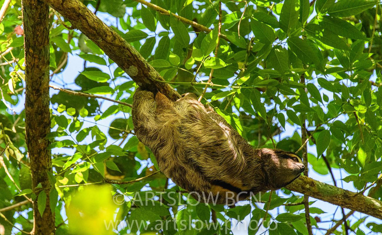 2002-9698- Perezoso de tres dedos, (Bradypus variegatus),- Parque metropolitano Panama - Paisajes Tropicales - ARTSLOW BCN GALLERY SHOP, www.artslow.photo