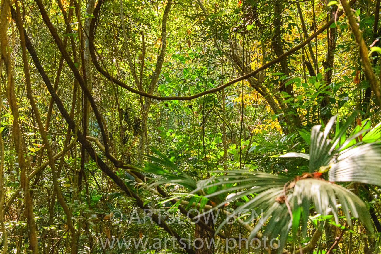 2002-9755-Lianas, Parque metropolitano Panamá - Paisajes Tropicales - ARTSLOW BCN GALLERY SHOP, www.artslow.photo