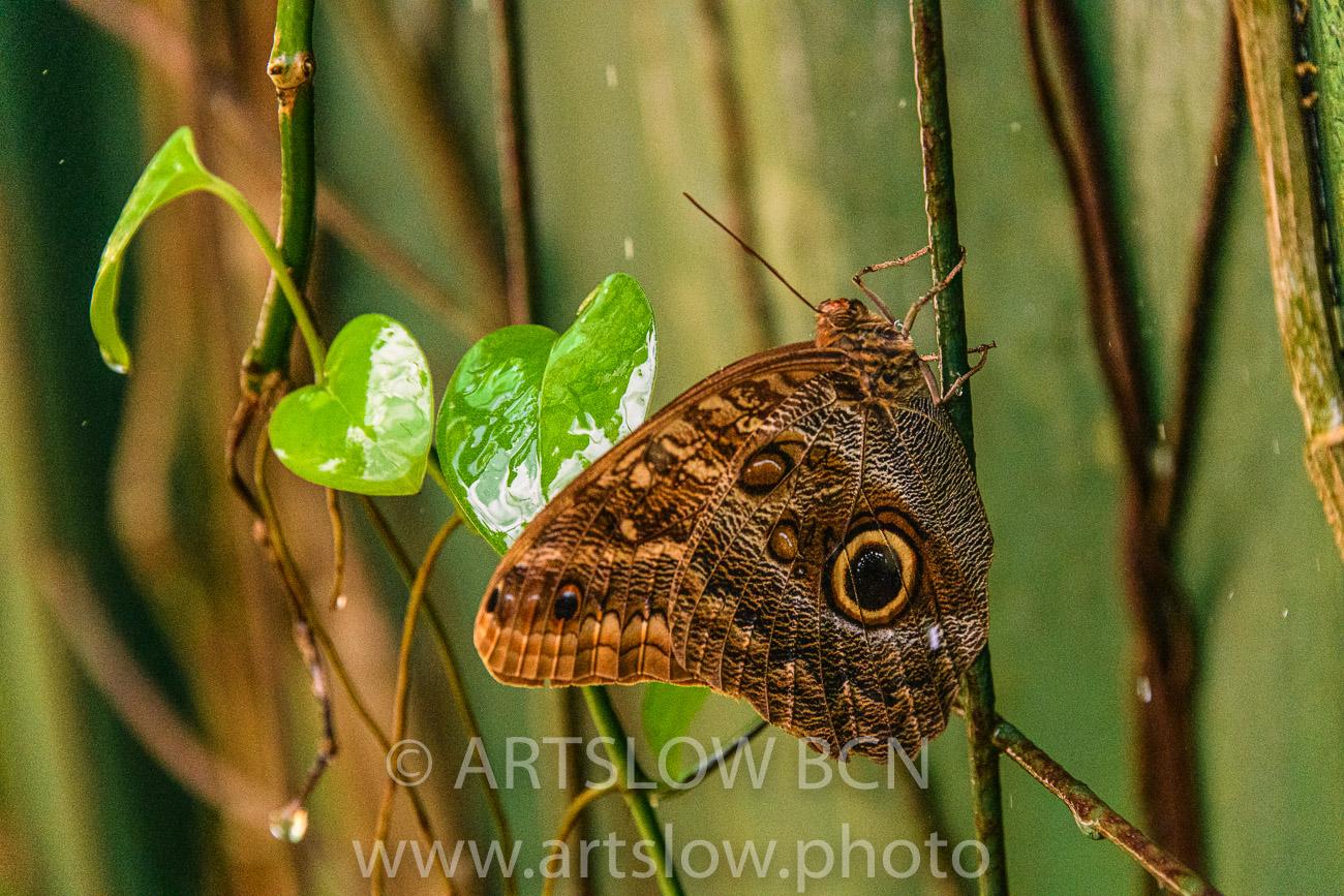 2002-9792- Mariposa Buho- Condiciones controladas - Paisajes Tropicales - ARTSLOW BCN GALLERY SHOP, www.artslow.photo