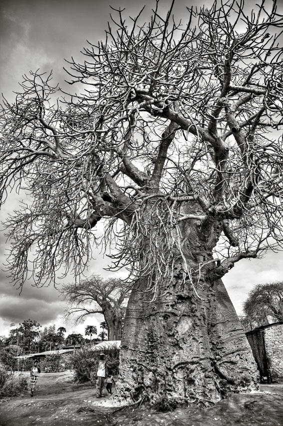 Baobabs, Pemba- Cabo Delgado - Mozambique varios - Augusto Rodríguez, Landscape & Portrait