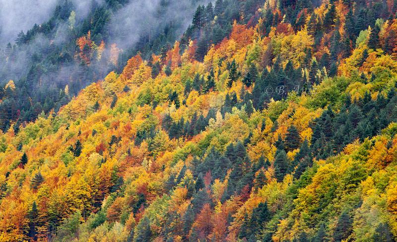 Bosque otoñal en Pineta. - Otoño en el Pirineo - Bakartxo Aniz Aldasoro, Fotografía de naturaleza, etnografía y viajes