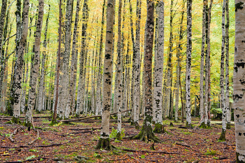Bosque otoñal en Ordesa. - Otoño en el Pirineo - Bakartxo Aniz Aldasoro, Fotografía de naturaleza, etnografía y viajes