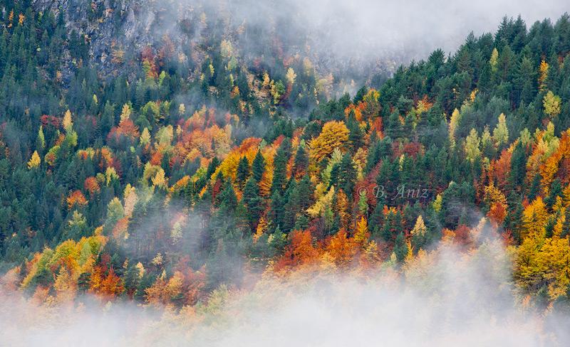 Contraste otoñal entre las coníferas y el bosque caducifolio. - Otoño en el Pirineo - Bakartxo Aniz Aldasoro, Fotografía de naturaleza, etnografía y viajes