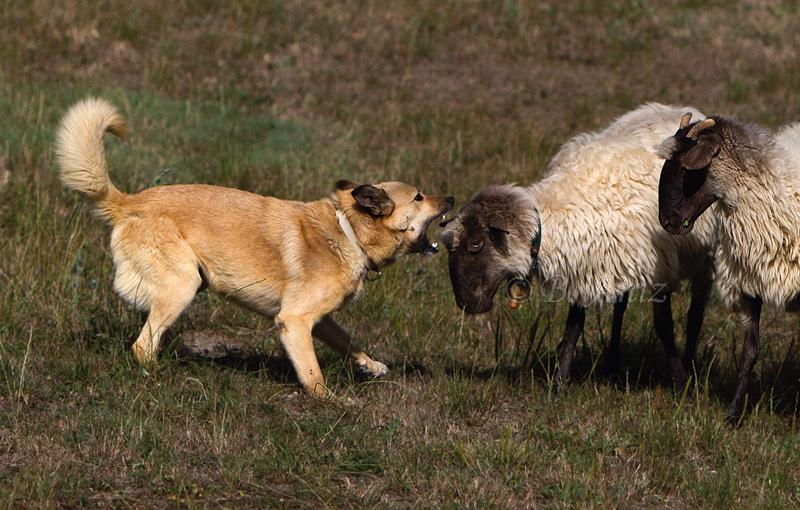 Regañando. - Perros pastor - Bakartxo Aniz Aldasoro, Fotografía de naturaleza, etnografía y viajes