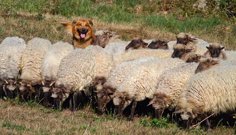 Atento entre el rebaño. - Perros pastor - Bakartxo Aniz Aldasoro, Fotografía de naturaleza, etnografía y viajes