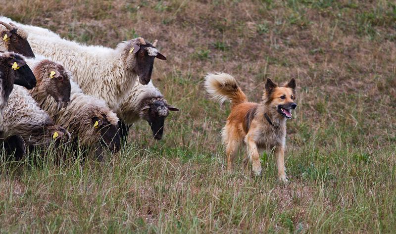 Ovejas atentas del perro y éste del pastor... - Perros pastor - Bakartxo Aniz Aldasoro, Fotografía de naturaleza, etnografía y viajes