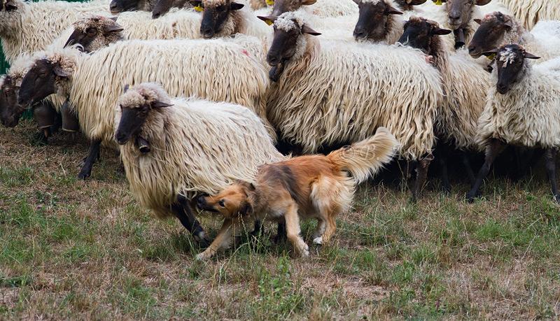 Reuniendo al rebaño. - Perros pastor - Bakartxo Aniz Aldasoro, Fotografía de naturaleza, etnografía y viajes