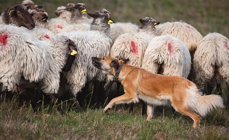 Perros pastor - Bakartxo Aniz Aldasoro, Fotografía de naturaleza, etnografía y viajes