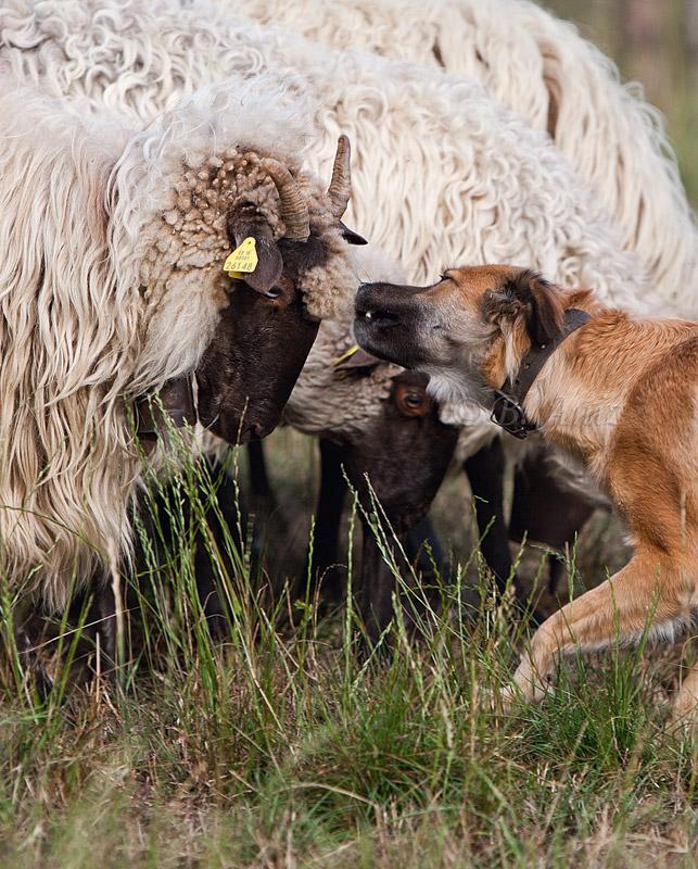 Regañando con suave mordisco al flequillo. - Perros pastor - Bakartxo Aniz Aldasoro, Fotografía de naturaleza, etnografía y viajes
