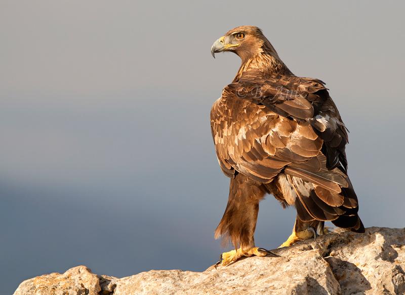 Fuerza en la mirada y las garras de esta imponente rapaz - Águila real - Bakartxo Aniz - Fotografía de Águila real y Águila imperial.
