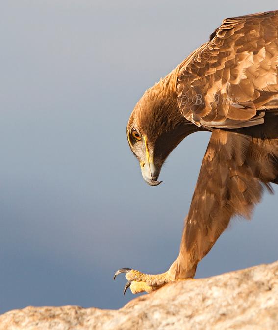 Detalle de mirada y garra - Águila real - Bakartxo Aniz - Fotografía de Águila real y Águila imperial.