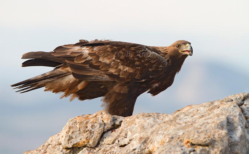 Águila real - Águila real - Bakartxo Aniz - Fotografía de Águila real y Águila imperial.