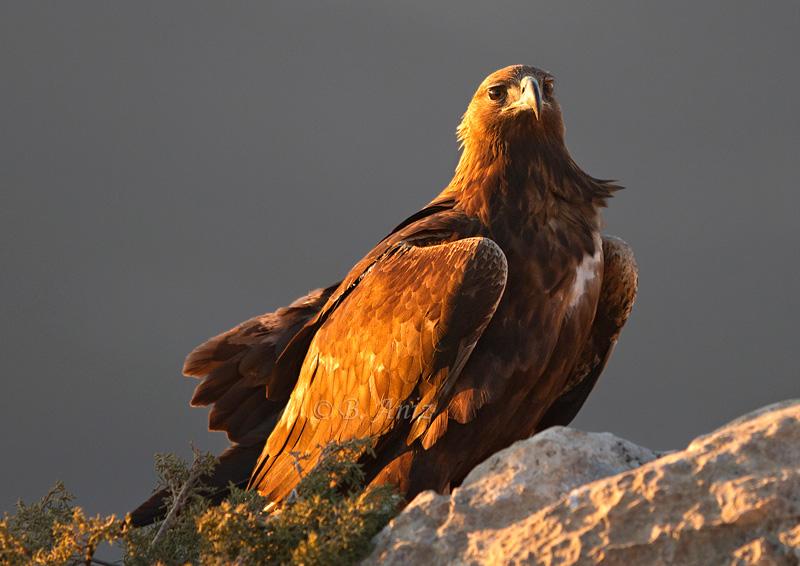 Águila real bajo el viento y el atardecer - Águila real - Bakartxo Aniz - Fotografía de Águila real y Águila imperial.