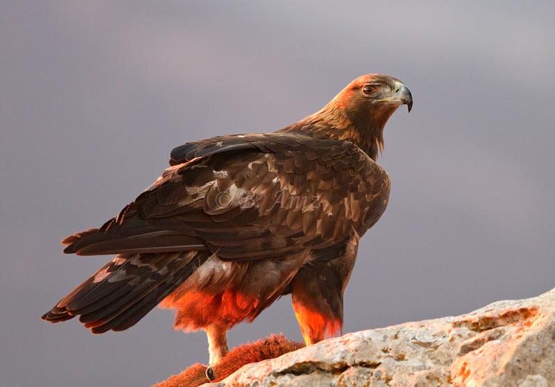 águila real con las últimas luces del día - Águila real - Bakartxo Aniz - Fotografía de Águila real y Águila imperial.