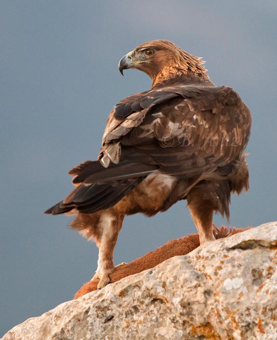 vigilante mientras agarra a su presa - Águila real - Bakartxo Aniz - Fotografía de Águila real y Águila imperial.