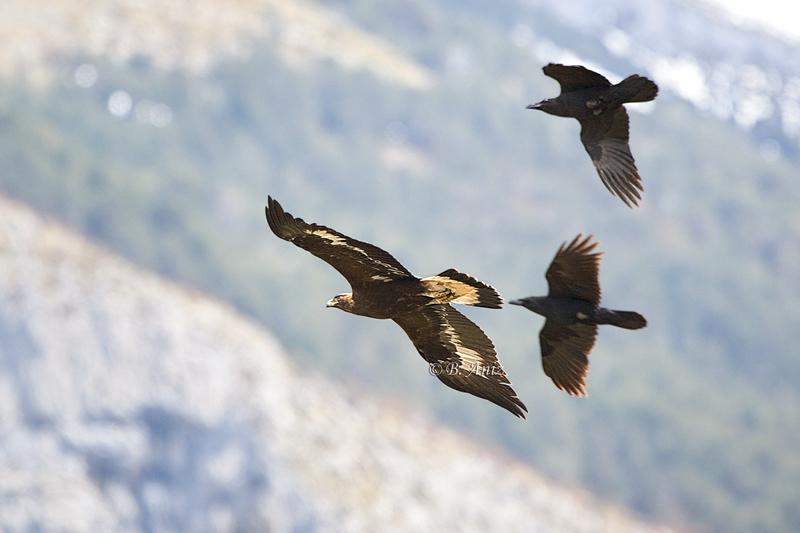 Águila real joven acosada por dos cuervos - Águila real - Bakartxo Aniz - Fotografía de Águila real y Águila imperial.