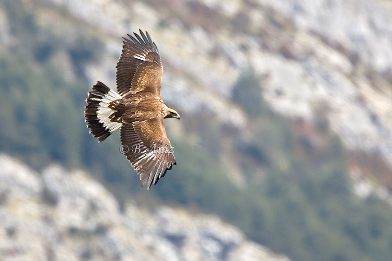 Águila real joven -