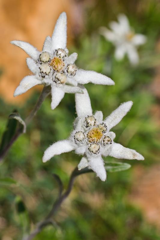 Edelweiss o flor de nieve -