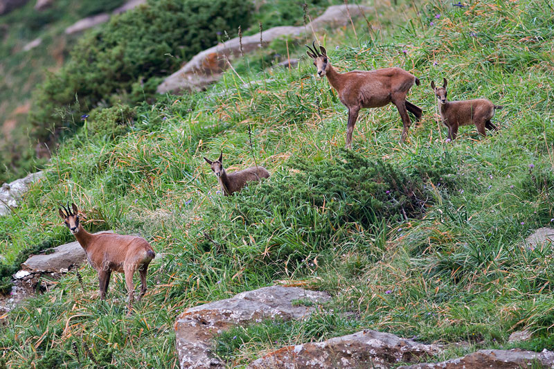 Pareja de sarrios con sus crías - Mamíferos - Bakartxo Aniz - Fotografías de mamíferos.
