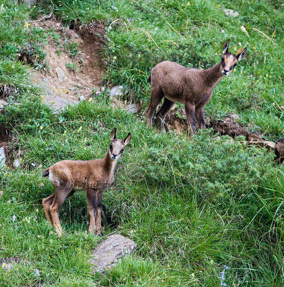 Sarrios jóvenes - Mamíferos - Bakartxo Aniz - Fotografías de mamíferos.