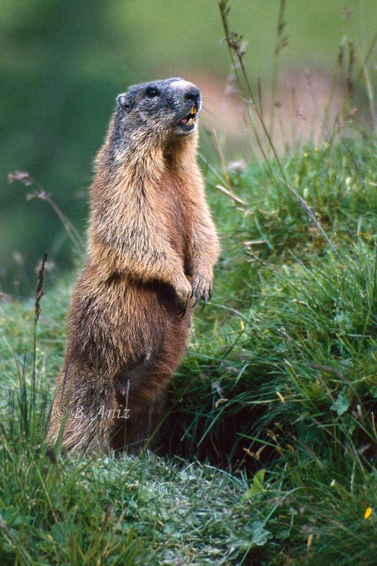 Marmota llamando a sus crías - Mamíferos - Bakartxo Aniz - Fotografías de mamíferos.
