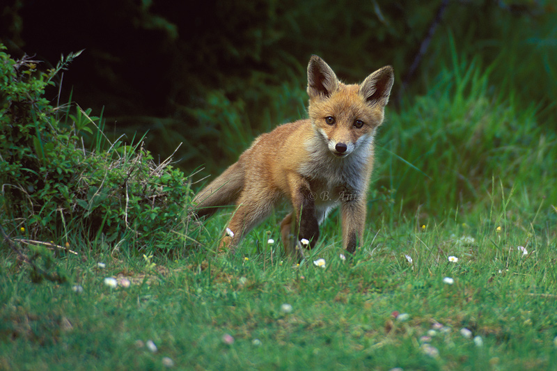 Cachorro de zorro - Mamíferos - Bakartxo Aniz - Fotografías de mamíferos.