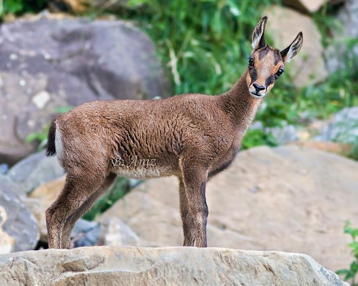 Cría de Sarrio - Mamíferos - Bakartxo Aniz - Fotografías de mamíferos.
