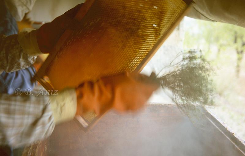 Sacudiendo con ramita de tomillo para espantar a las abejas - Extrayendo la miel - Bakartxo Aniz - Fotografías de Apicultura.