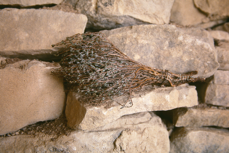 Ramita de tomillo - Extrayendo la miel - Bakartxo Aniz - Fotografías de Apicultura.