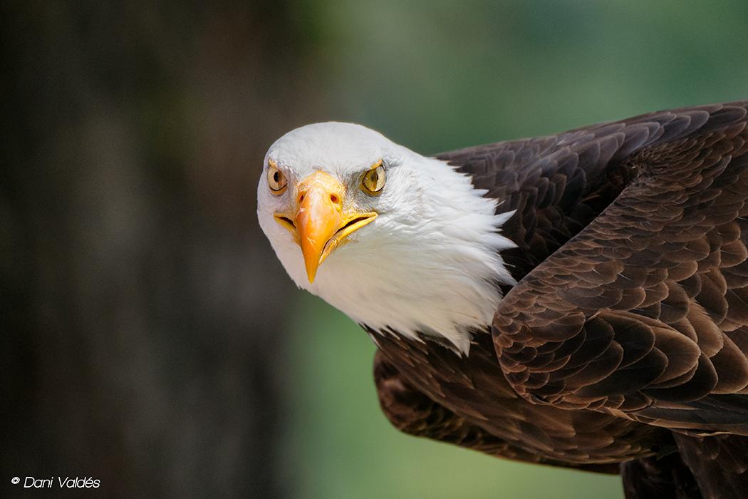Eagles - Algunos amigos voladores :) - Some flying friends