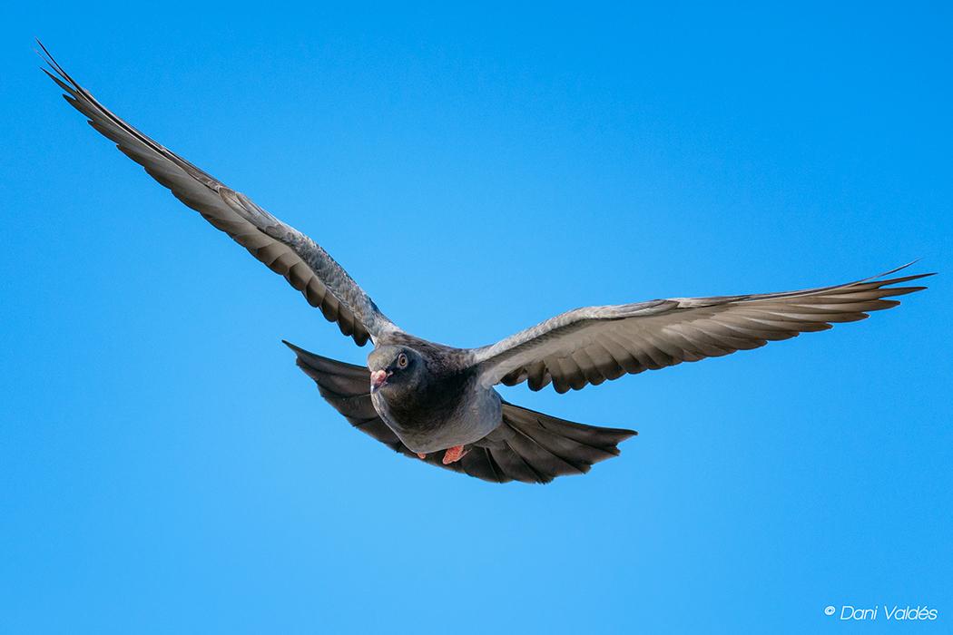 The flight of the pigeon - Algunos amigos voladores :) - Some flying friends