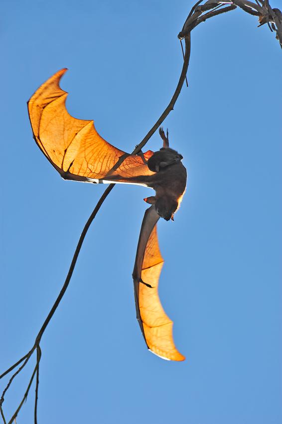 Flying fox - El reino Ocre: Territorio del Norte y Queensland, Australia - Daniel Montero , Fotografía