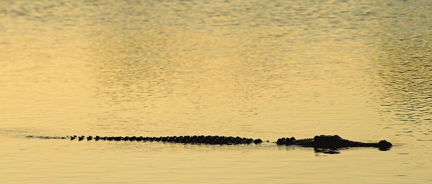 Estuarine Crocodile, Yellow Water, Kakadu, NT - El reino Ocre: Territorio del Norte y Queensland, Australia - Daniel Montero , Fotografía