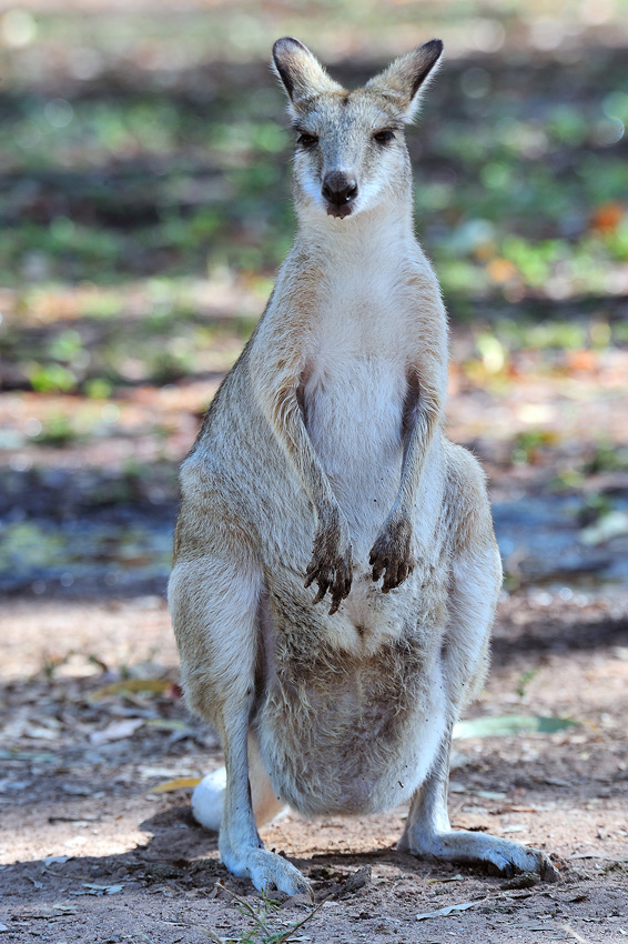 Australian Wallaby - El reino Ocre: Territorio del Norte y Queensland, Australia - Daniel Montero , Fotografía