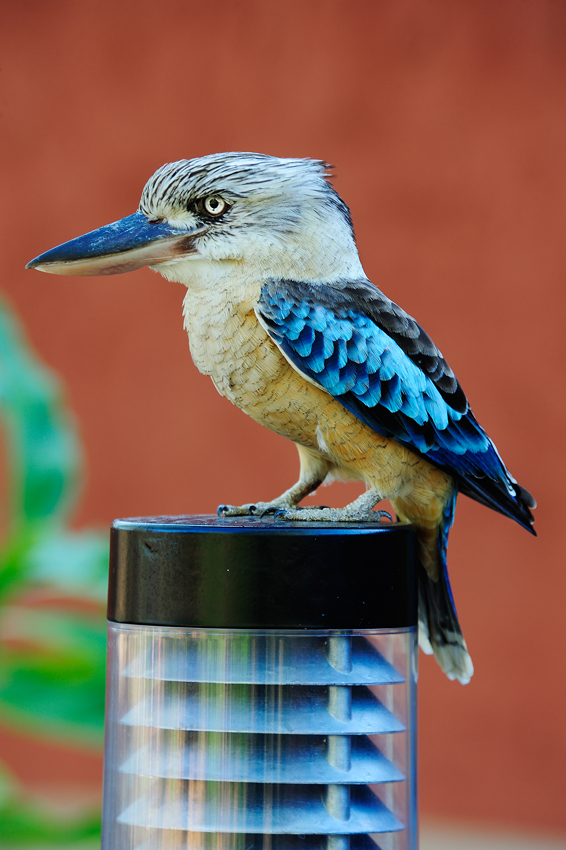 Kookaburra - El reino Ocre: Territorio del Norte y Queensland, Australia - Daniel Montero , Fotografía