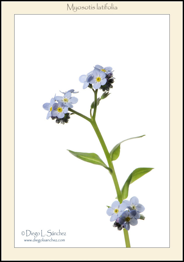 White - Canary Islands endemic flora. White background.