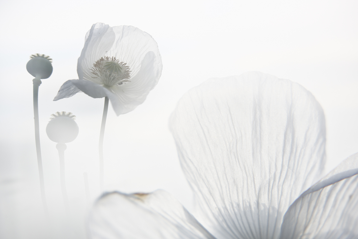 SUEÑO CON AMAPOLAS BLANCAS - David Santiago, Landscape Photography