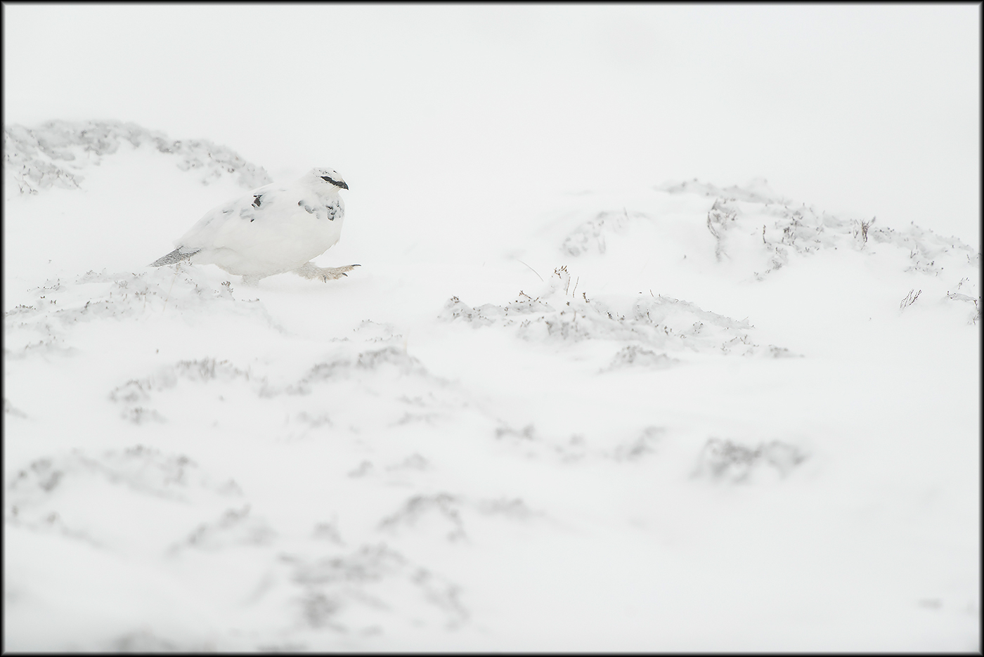 white and wild - white and wild