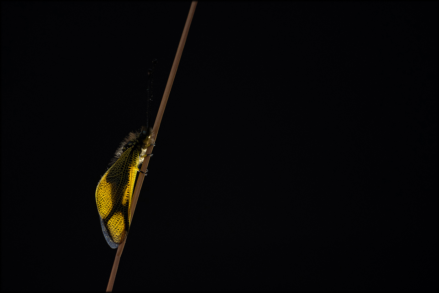 Libelloides longicornis - insecta - insecta