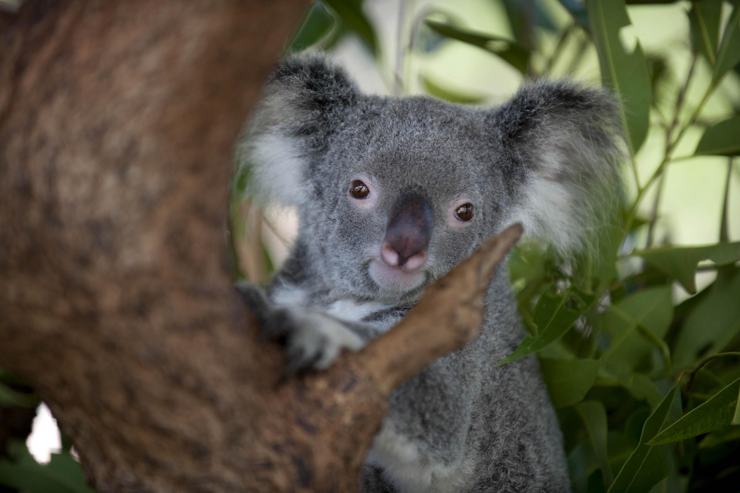 Koala, Australia - Gaia - Hector Garrido, Aerial and human photography