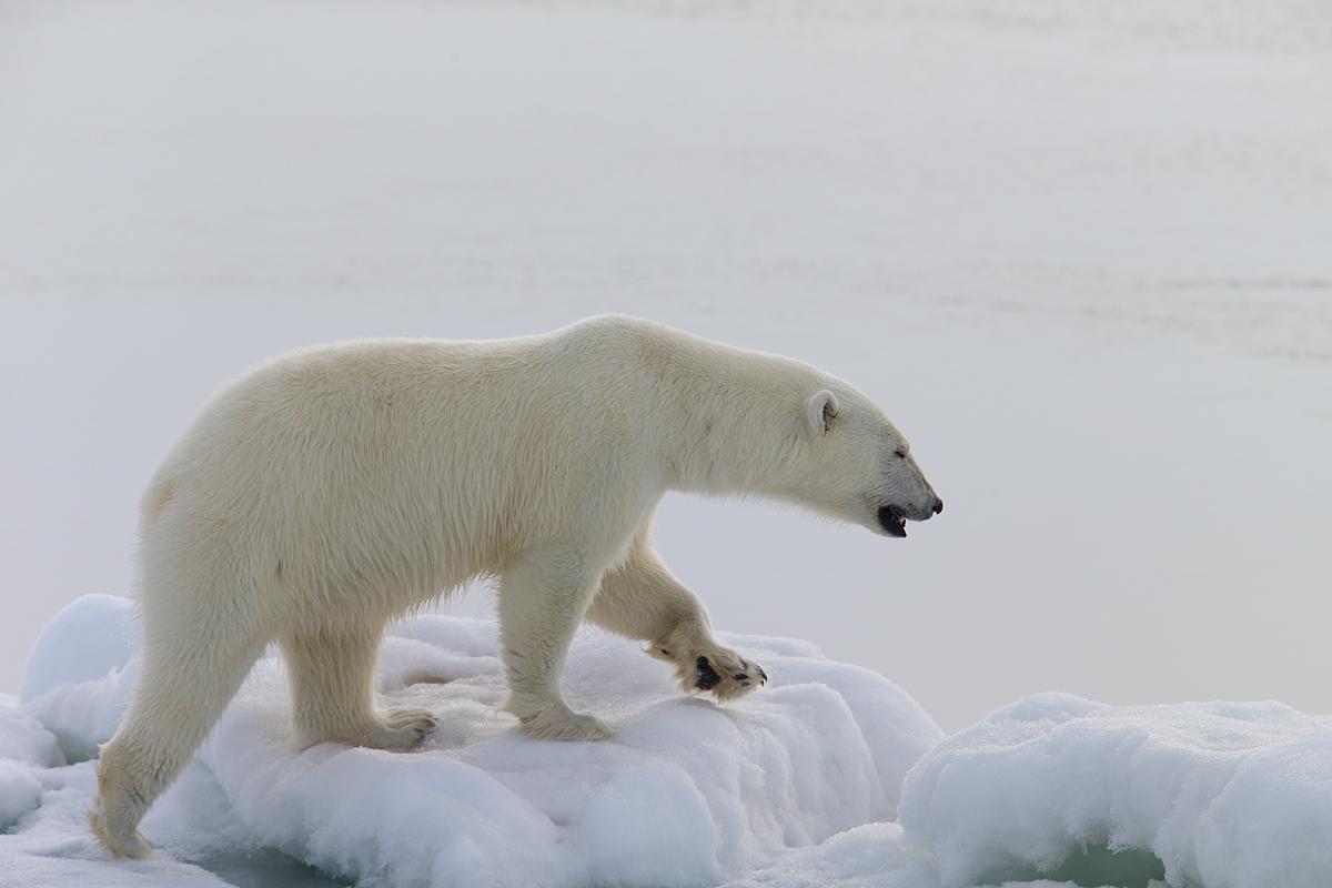 Glaciar en Svalbard Oso Polar-Polar Bear-(Ursus Maritimus) - Svalbard - Iñigo Bernedo, Fotografía