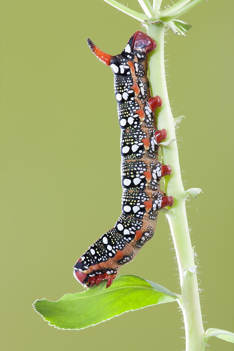 Hyde Euphorbiae - Macro - Iñigo Bernedo, Fotografía